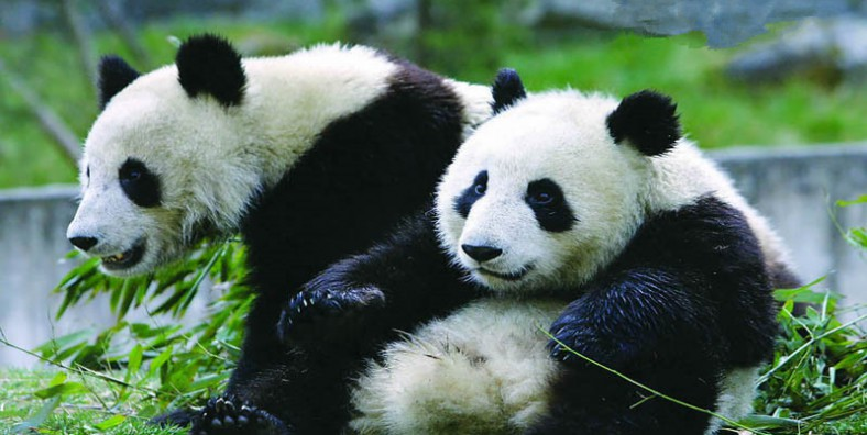 1 Day Beijing Group Tour with Giant Panda, Hutong, Lama Temple and the Bird's Nest