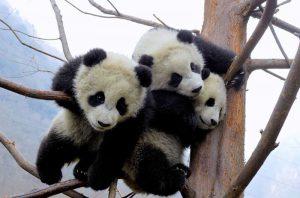 Bifengxia Panda Base in Yaan, Sichuan