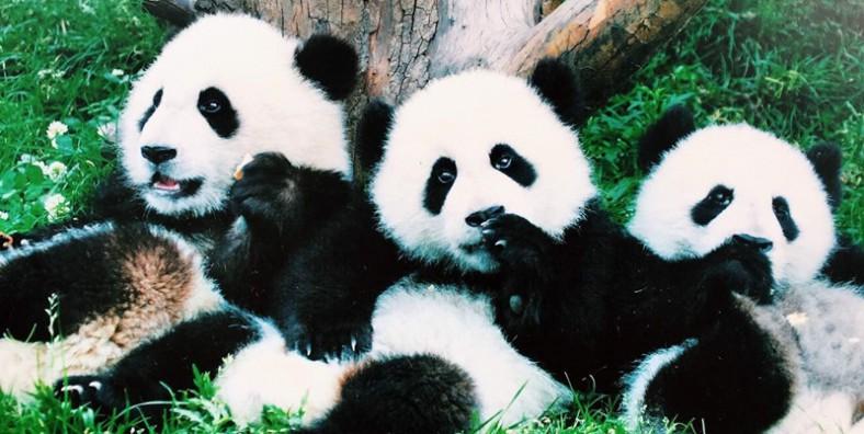 1 Day Dujiangyan Panda Volunteer Tour from Chengdu