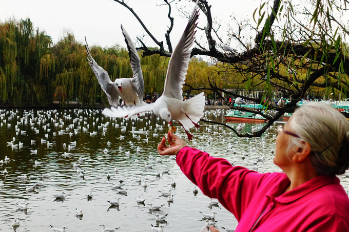 The Green Lake Seagulls breeding Kunming