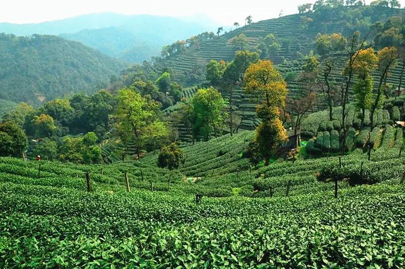 Meijiawu Tea Plantation in Hangzhou