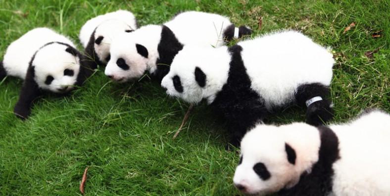 2 Day Chengdu to Wolong Panda Volunteer Tour