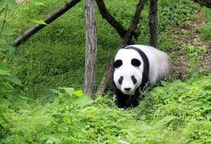 Foping National Nature Reserve and Panda Reserve in Hanzhong