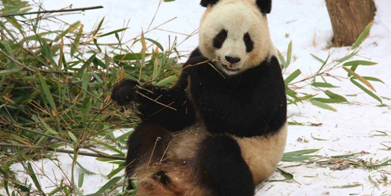 1 Day Xian Panda Tour to Hanzhong Foping National Nature Reserve and Panda Valley