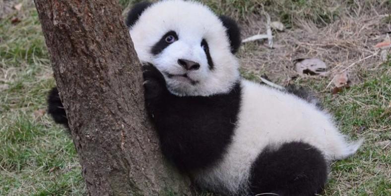 1 Day Xian Panda Tour to Louguantai Wild Animal Breeding And Protection Center