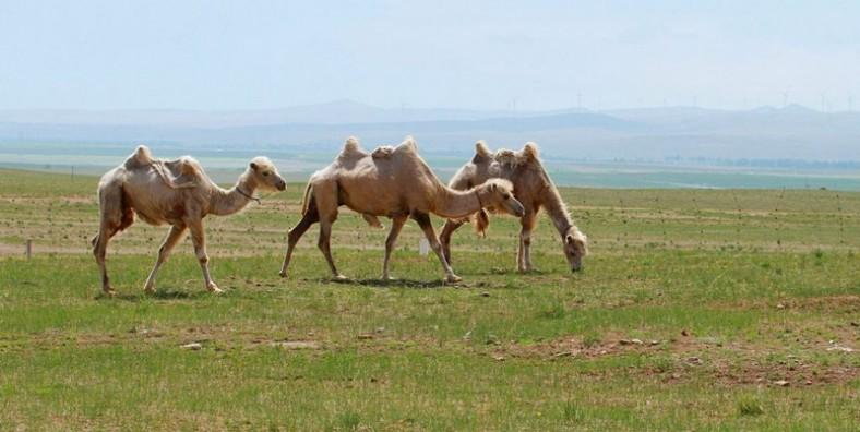 6 Days Inner Mongolia Genghis Khan & Xilamuren Grassland Tour